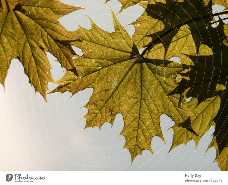Durchsichtig Blatt durchsichtig durchscheinend Baum dunkel Sommer Raupe Licht. Sonne Himmel hell Niveau voll im Saft Wut