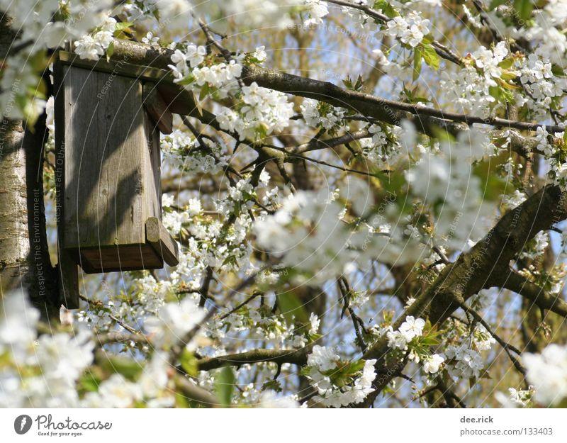 Zimmer frei! Baum Blüte Frühling Raum Kirsche Mai April Kirschblüten Nest Kirschbaum Futterhäuschen Nistkasten