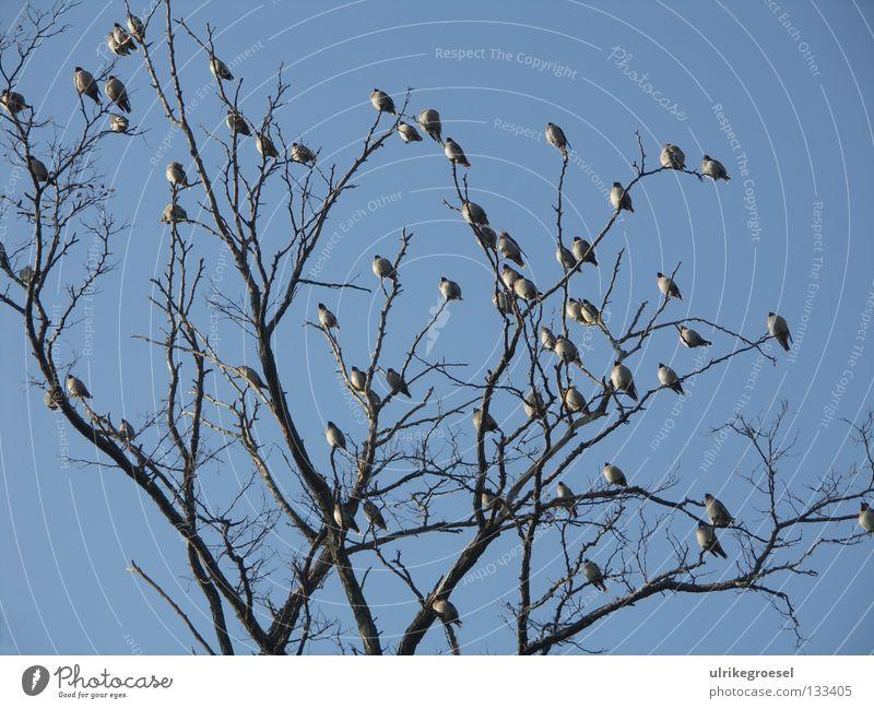 Treffen in der Wintersonne Baum Vogel mehrere Baumkrone kalt Außenaufnahme Himmel Klarheit viele Ast blau Natur