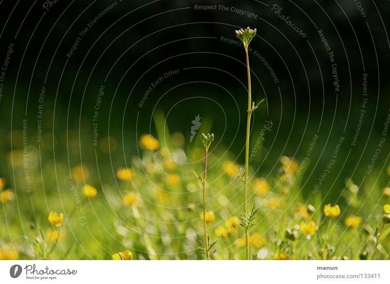 Streber Sinnesorgane Erholung ruhig Gartenarbeit Umwelt Natur Frühling Sommer Schönes Wetter Wärme Blume Gras Blüte Wildpflanze Wiese frisch hoch gelb grün