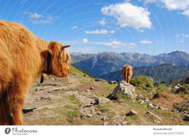 Muh kuh im Allgäu Oberstdorf Kleinwalsertal Österreich Kuh Tier braun Wolken Sommer wandern Bergsteigen Spielen Berge u. Gebirge Alpen mountains cow August