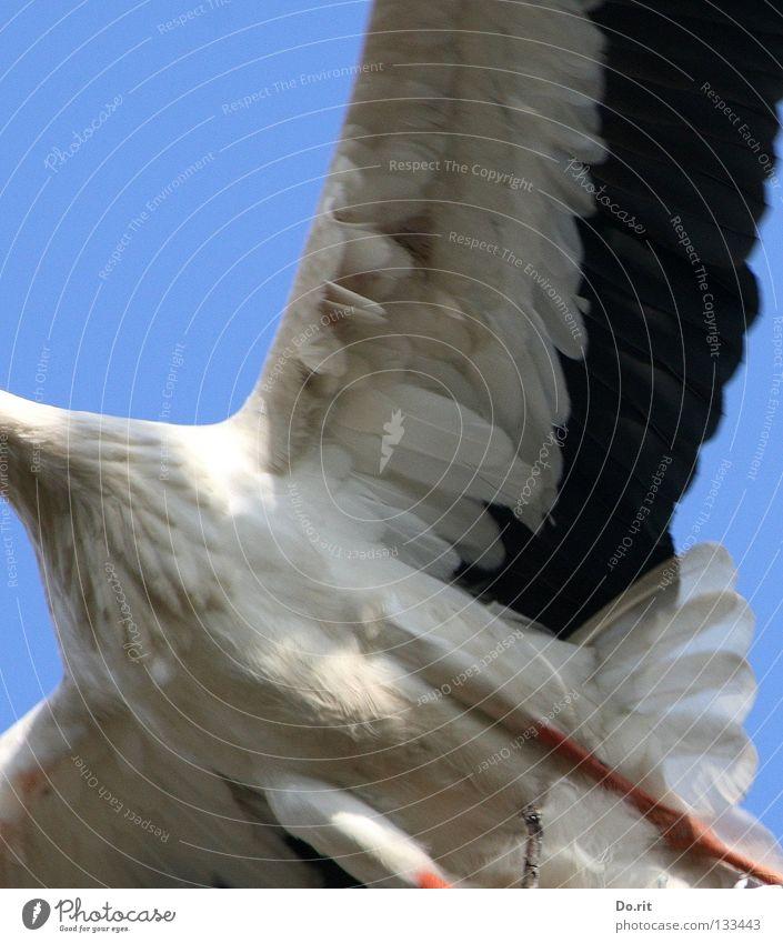 Überflieger Storch Weißstorch Blauer Himmel Federvieh Vogel Geburt Afrika Hausstorch Schreitvogel Adebar Storchenbein abgeschnittener langer Hals
