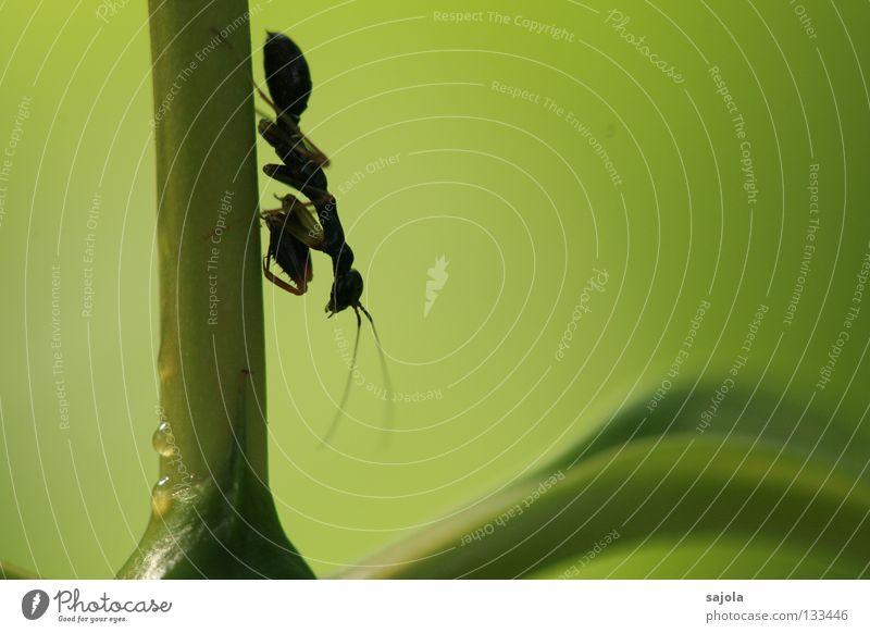 keine ameise... grün Blatt schwarz Tier Auge Kopf klein Beine braun Insekt Asien Stengel Fühler Singapore Dreieck Heuschrecke