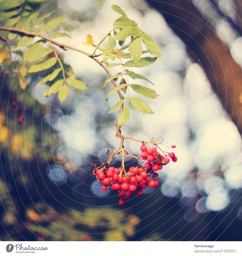 rot & ungiftig Natur Sonnenlicht Herbst Schönes Wetter Baum schön Blatt Beeren Vogelbeeren Zweig Zweige u. Äste hängend Quadrat Ast Weintrauben Beerensträucher