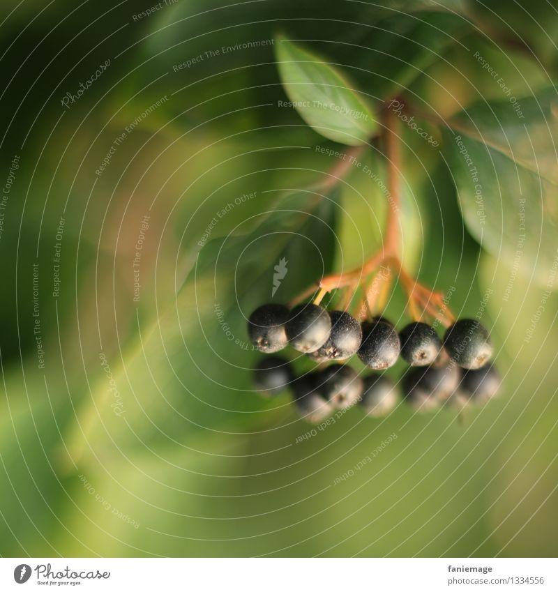 feine Beeren II Natur Herbst Pflanze Baum Garten Park schön Pflanzenteile Blatt Perle Holunderbusch Holunderbeeren Zweige u. Äste Ast herbstlich ästhetisch