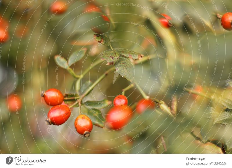 Hagebutten Natur Herbst Schönes Wetter Sträucher Garten Park schön Pflanzenteile Blatt Unterholz herbstlich Beeren Frucht rot Gold grün Grünschattierung