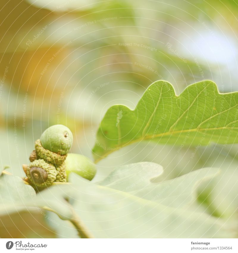 Eicheln Natur Herbst Pflanze Garten Park Wald schön Blatt Blattadern Frucht Nussfruchtstand frisch herbstlich ästhetisch Quadrat Baum grün hellgrün Warmes Licht
