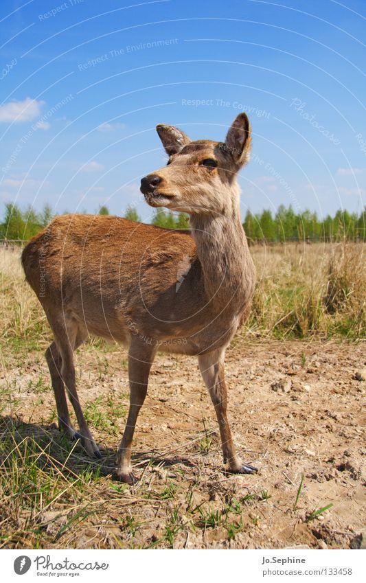 miezekatze Natur Sommer Tier Gras braun Wildtier wild Schönes Wetter beobachten trocken Wachsamkeit Säugetier Blauer Himmel Vorsicht Hirsche Dürre