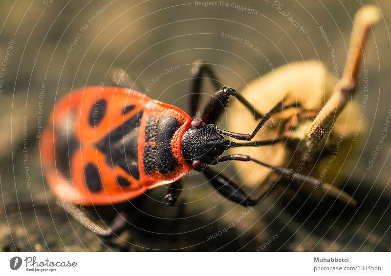 The firebug Natur Pflanze Tier Käfer gefräßig FIREBUG Feuerkäfer insect Insekt Fühler Farbfoto Tag