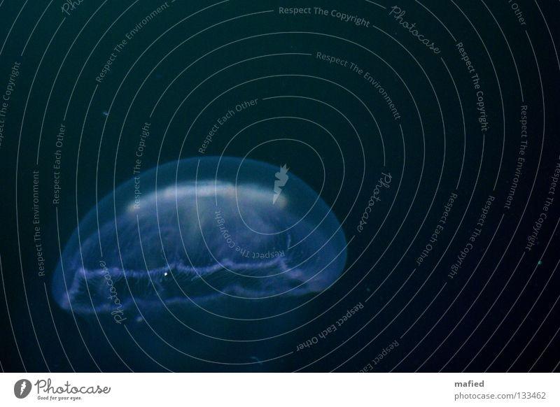 Ohrenqualle Wasser blau weiß Meer schwarz Schweben Im Wasser treiben Qualle Vor dunklem Hintergrund