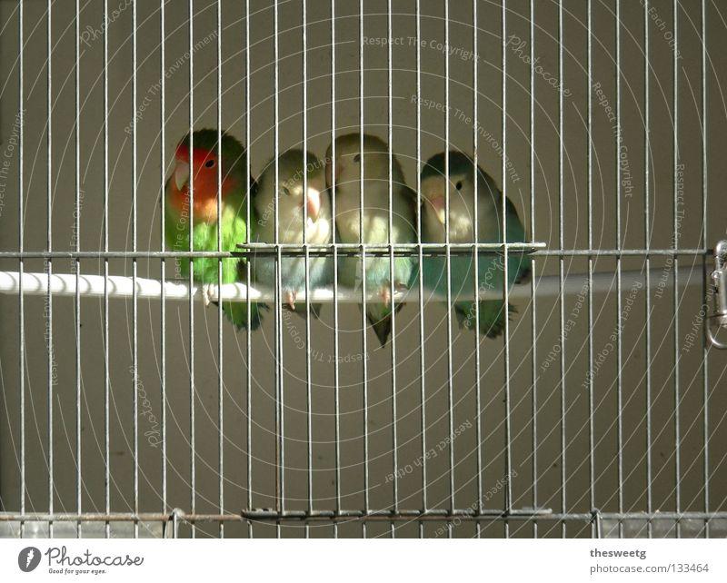 Knastvögel Zusammensein Vogel Trauer Verzweiflung gefangen Zusammenhalt Schwäche Justizvollzugsanstalt Gitter Verbundenheit hilflos Haftstrafe Käfig eingeengt Gefängniszelle Unterdrückung