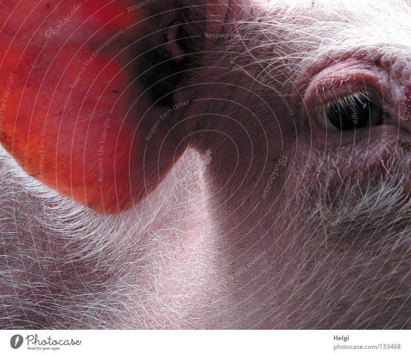 Lauscher... Natur weiß rot Tier schwarz dunkel Auge Haare & Frisuren hell Beleuchtung rosa Ohr Landwirtschaft lang Bauernhof hören