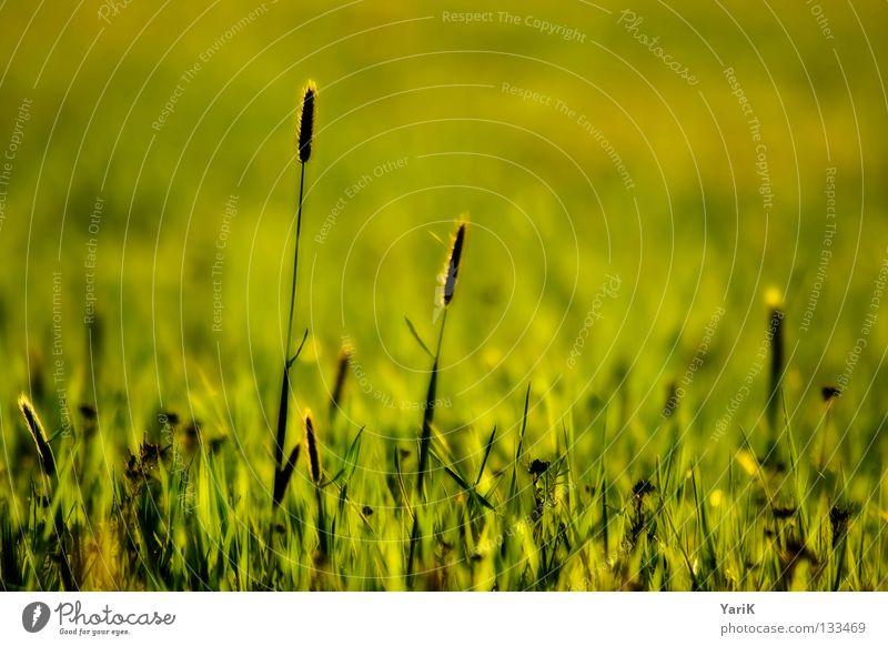 wiese Natur Blume grün Pflanze Sommer Freude ruhig Farbe Leben Erholung Wiese Gras Frühling Freiheit Glück Wärme