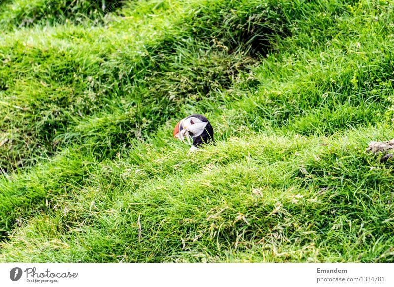 Papageitaucher III Tier Wildtier Vogel Tiergesicht 1 klein lustig niedlich Profil Farbfoto Außenaufnahme Menschenleer Textfreiraum links Textfreiraum rechts