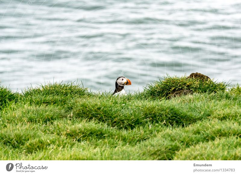 Papageitaucher II Meer Atlantik Insel Island Tier Wildtier Vogel Tiergesicht 1 Freundlichkeit lustig natürlich niedlich Farbfoto Außenaufnahme Textfreiraum oben
