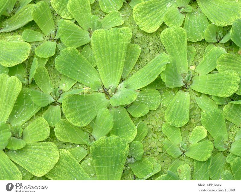Leafs grün Blatt