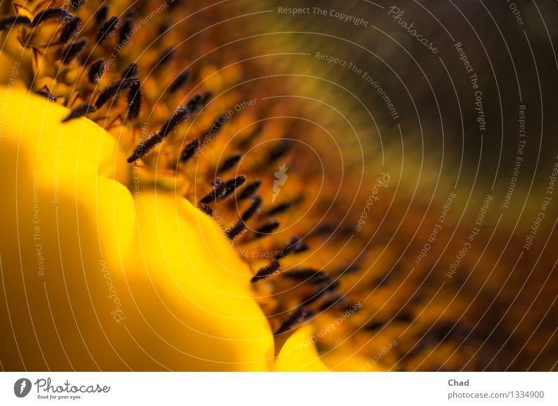Sonnen Blume Lebensmittel Sonnenblumenkern Sonnenblumenöl Ernährung Bioprodukte Wellness harmonisch Erholung Meditation Erntedankfest Umwelt Natur Pflanze Blüte