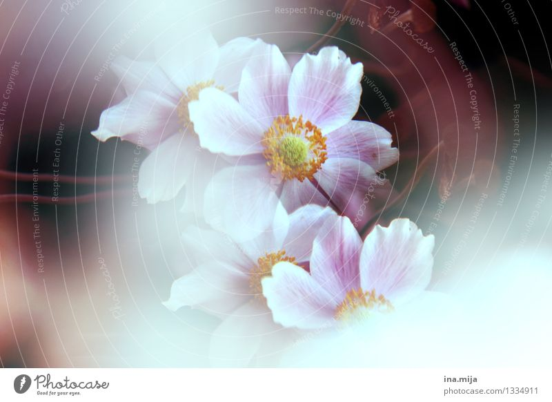 blumblumen Natur Pflanze schön Sommer weiß Blume dunkel Umwelt Blüte Frühling natürlich Garten Freiheit rosa Blühend Vergänglichkeit