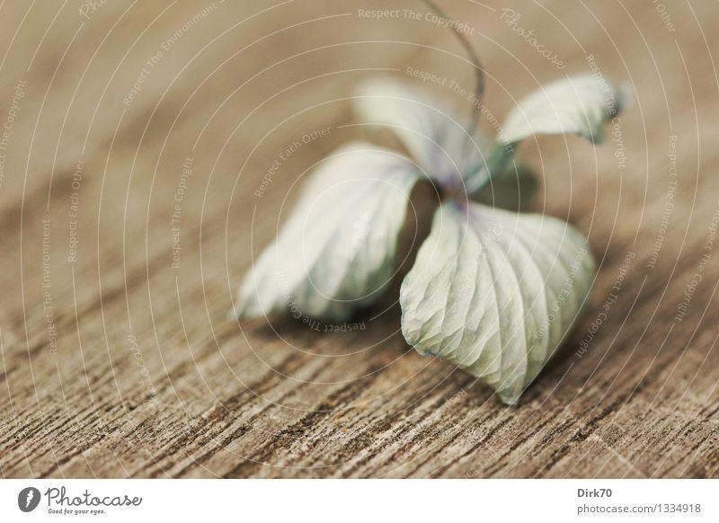 Hortensienblüte, trocken Herbst Sträucher Blüte Garten Gartentisch Teak Holz alt verblüht dehydrieren ästhetisch Duft Kitsch klein schön trist blau braun grau