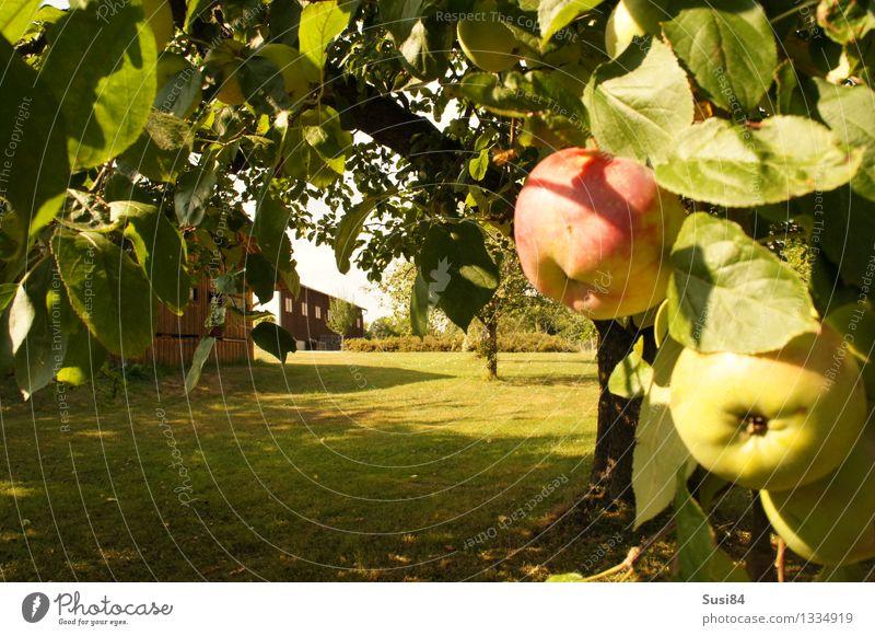 Apfelbaum im Garten Pflanze Herbst Baum Gras Nutzpflanze Rasen Scheune Lagerhalle Gartenhaus Gesundheit nachhaltig natürlich saftig süß grün rot Sicherheit