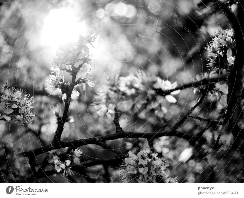 Lichtblick schwarz weiß Sträucher Blüte Wiese Unschärfe Frühling Hoffnung Sommer glänzend Baum Gegenlicht Blühend selektive schärfe Ast Sonne freihand