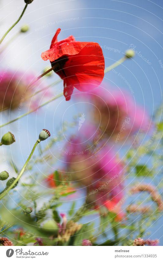 Mohn am Dienstag Natur blau grün schön Sommer Erholung rot Wolken Blüte Stil rosa träumen Feld Wachstum elegant stehen