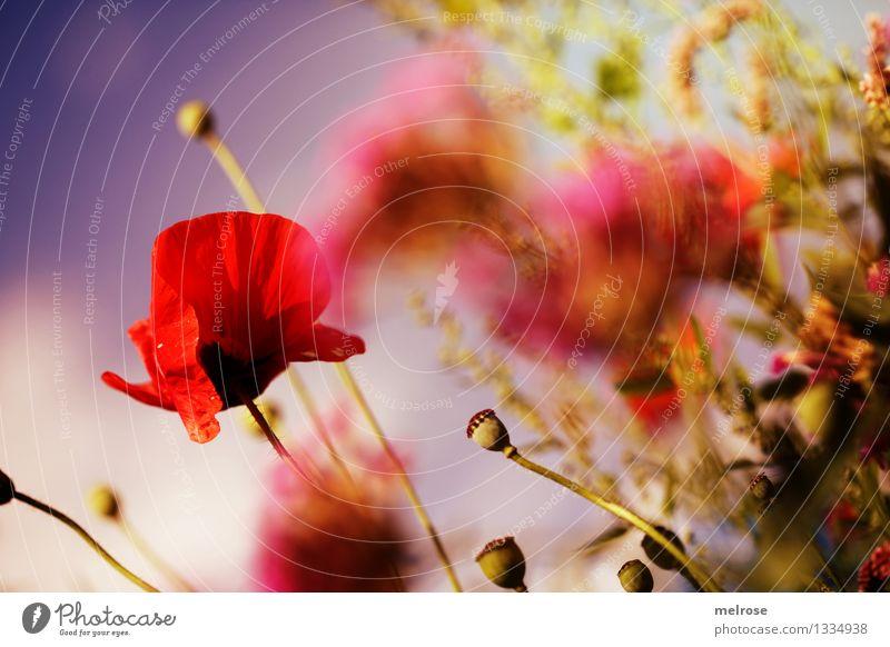 Mohntraum I elegant Stil Natur Pflanze Himmel Wolken Sommer Schönes Wetter Blume Sträucher Blüte Wildpflanze Topfpflanze Klatschmohn Mohnkapsel Gras Feld