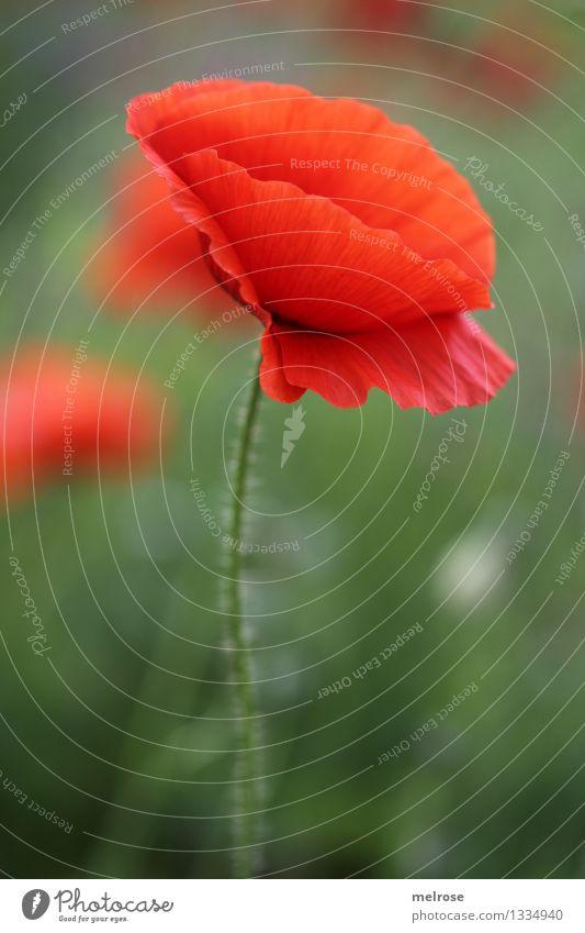 schlicht aber MOHN Natur Pflanze grün schön Sommer Erholung Blume rot Blüte Stil Lebensmittel Stimmung Design Feld leuchten Wachstum