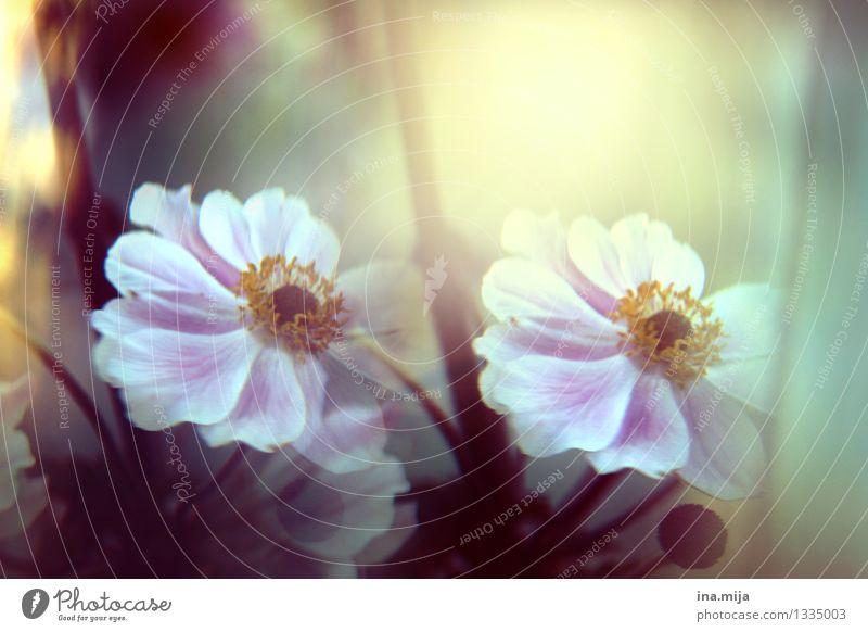 Blumblumen Umwelt Natur Pflanze Frühling Sommer Herbst Blume Garten Park Blühend Duft ästhetisch dunkel frei rosa weiß Energie Ewigkeit Freiheit Frieden