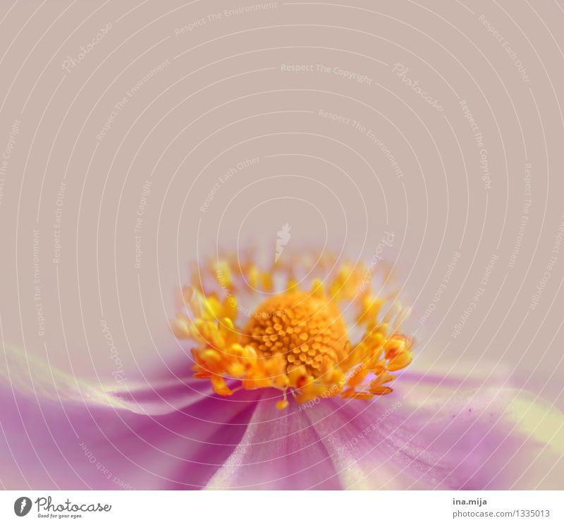 _ schön Duft Sommer Garten Umwelt Natur Pflanze Frühling Blume Blüte Wachstum ästhetisch klein nah natürlich gelb violett rosa Frühlingsgefühle Verliebtheit