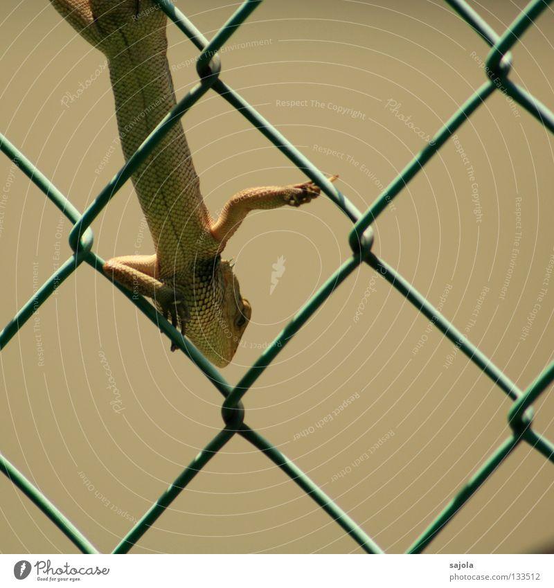 ausruhen grün Tier Garten Asien Klettern lang festhalten Zaun Wachsamkeit Reptil Echsen Echte Eidechsen Agamen Maschendrahtzaun
