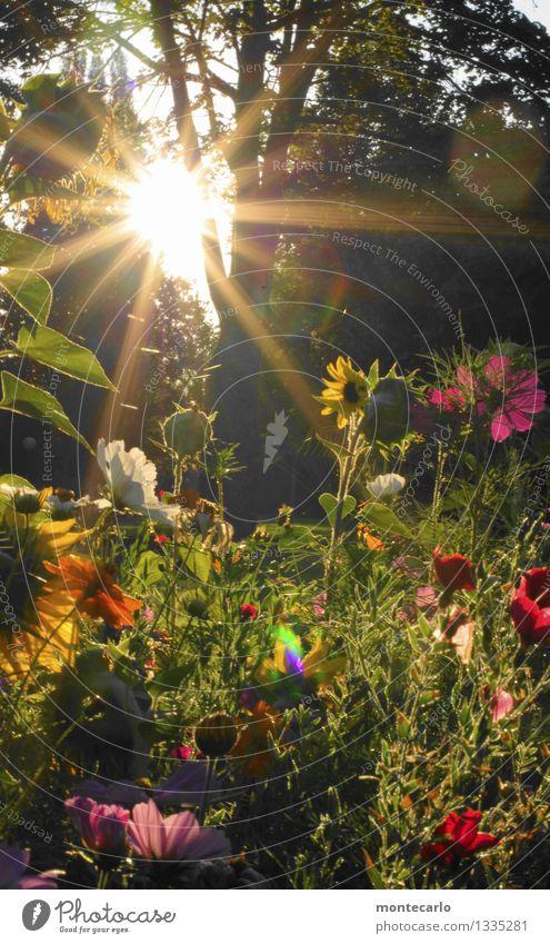 Heimkommen | und die Sonne geht auf Umwelt Natur Pflanze Sonnenaufgang Sonnenuntergang Sonnenlicht Sommer Schönes Wetter Baum Blume Gras Sträucher Blatt Blüte