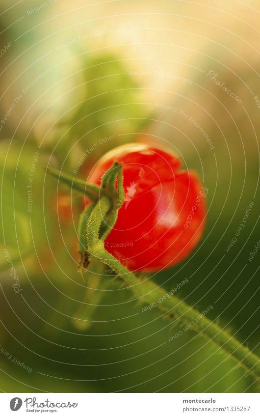 reif Natur Pflanze grün rot Umwelt natürlich Gesundheit klein Lebensmittel authentisch Sträucher einfach weich süß kaputt rund