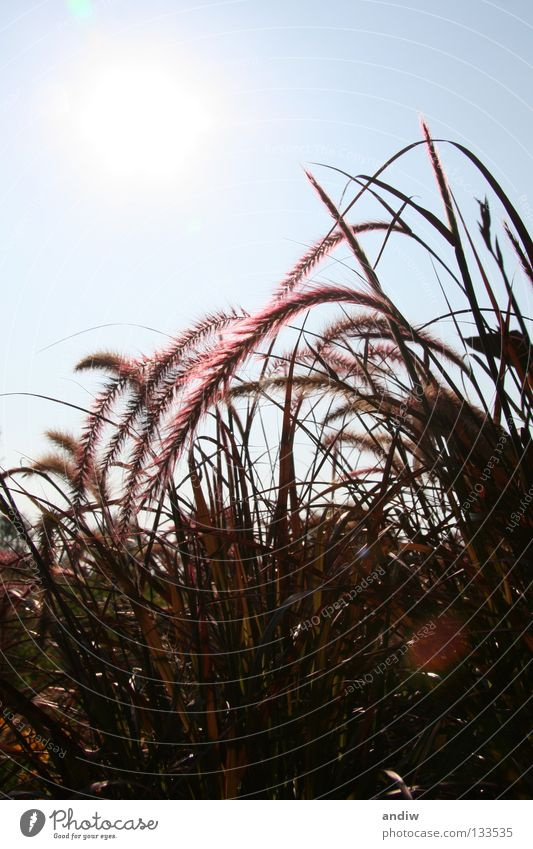 gräser Sonne Blume blau Sommer Erholung Gras Kunst violett Strahlung Stillleben Skulptur
