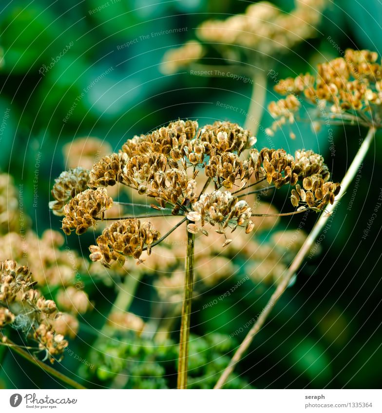 Aegopodium Blüte Pflanze Sommer perennial Blume Giersch Heilpflanzen Garten Natur Jahreszeiten Nahaufnahme Samen trocken getrocknet ripe Blatt plan Anhäufung