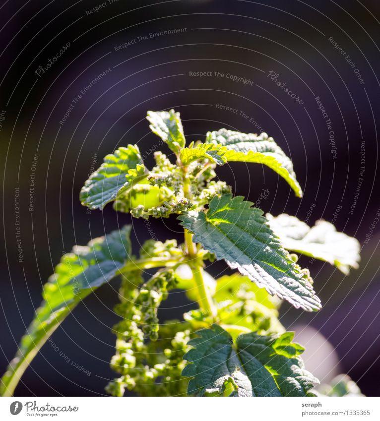 Brennnessel annual antioxidant aromatisch Botanik condiment lecker essbar Pflanze foresting Heilung Gesundheitswesen Kräuter & Gewürze krautig Stauden