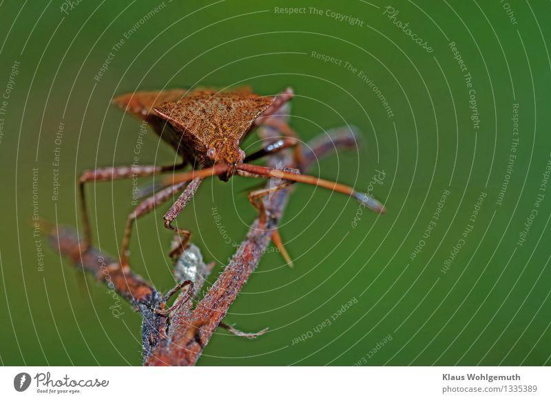 Spagat Umwelt Natur Tier Sommer Herbst Käfer Tiergesicht Lederwanze 1 beobachten hocken krabbeln exotisch Neugier braun grau grün rot Außenaufnahme Nahaufnahme