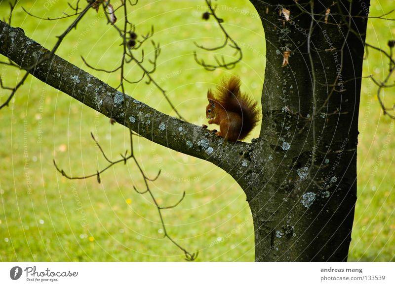 endlich gibt es wieder nüsse Natur Baum Ernährung Tier Wiese Gras Frühling Lebensmittel Ast genießen Wachsamkeit Säugetier Nuss Eichhörnchen Nut Abzweigung
