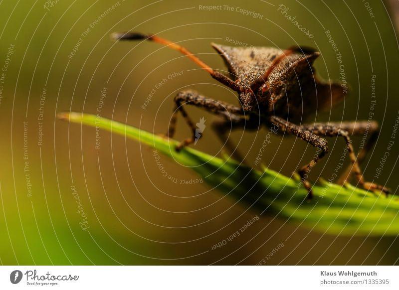 Wütender Minitaurus Umwelt Natur Tier Pflanze Blatt Park Wald Käfer Tiergesicht Lerderwanze Wanze 1 beobachten sitzen Aggression braun grün Fühler Warze