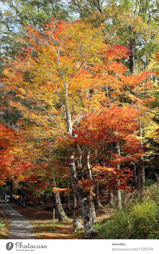 Herbst in Japan – Baum mit Blattfärbung Natur Pflanze Sonne Sonnenlicht Schönes Wetter Park Wald Asien mehrfarbig gelb gold orange rot Farbe Farbfoto