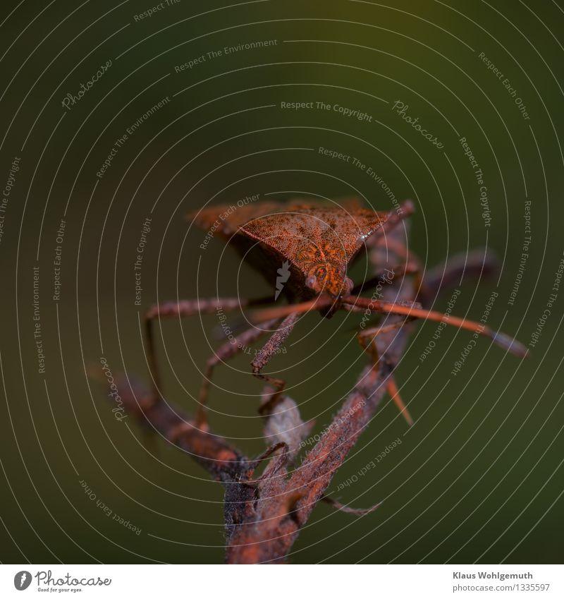 Mimicry Abenteuer Umwelt Natur Tier Sommer Herbst Brombeeren Park Wiese Wald Käfer Tiergesicht Lederwanze 1 beobachten hocken Blick exotisch stachelig braun