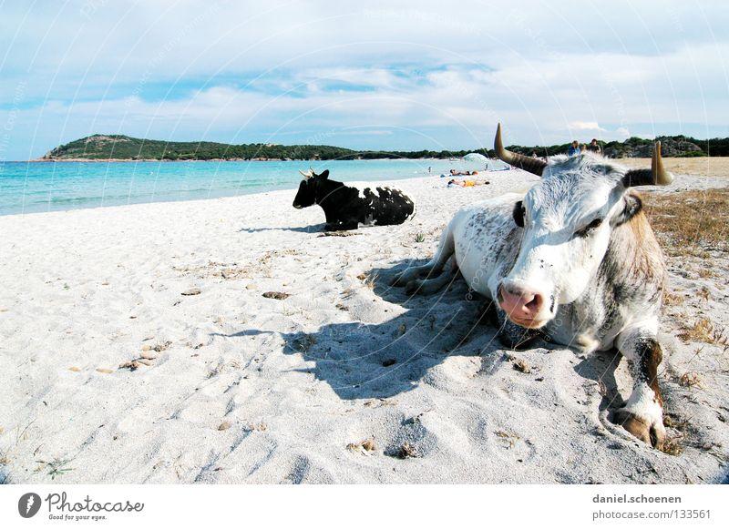 endlich Urlaub ! Strand Meer Kuh Ferien & Urlaub & Reisen Sommer Sonnenbad Küste Frankreich Korsika Freude Sand lustig skuril Bucht Mittelmeer erhohlung Wärme