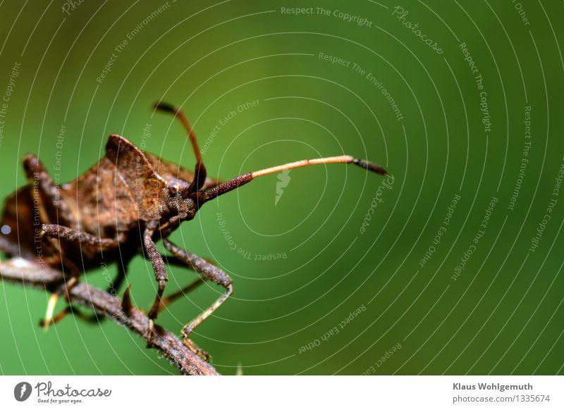 Aufpasser Umwelt Natur Tier Sommer Herbst Park Wald Käfer Lederwanze 1 beobachten Blick sitzen warten braun grau grün Wanze Farbfoto Außenaufnahme Nahaufnahme