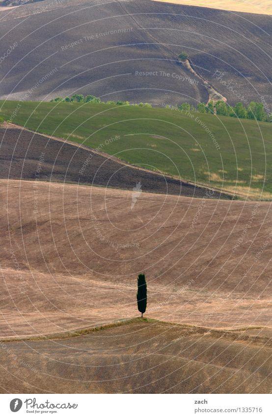 Einzelkämpfer Zypresse Umwelt Natur Landschaft Urelemente Erde Sand Klimawandel Dürre Pflanze Baum Feld Hügel Wüste Italien Toskana dehydrieren Wachstum trocken