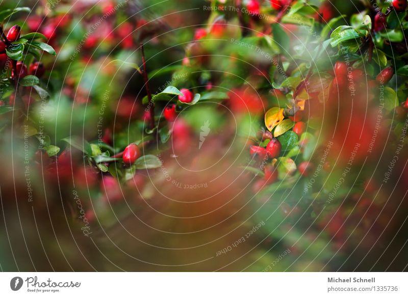 Zwergmispel Umwelt Natur Pflanze Sträucher Frucht Duft frisch schön natürlich saftig grün rot verschwenden mehrere Durchblick Farbfoto Menschenleer