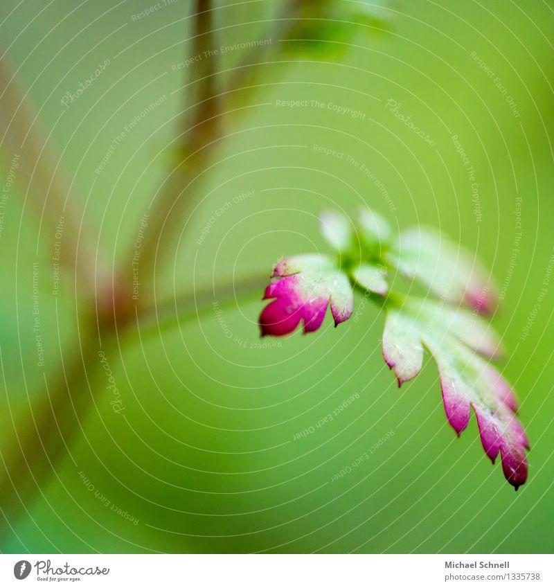 Verfärbung Umwelt Natur Pflanze Blatt Garten schön natürlich grün rot uneinig Färbung rot-grün Sommer Farbfoto Nahaufnahme Detailaufnahme Makroaufnahme Licht