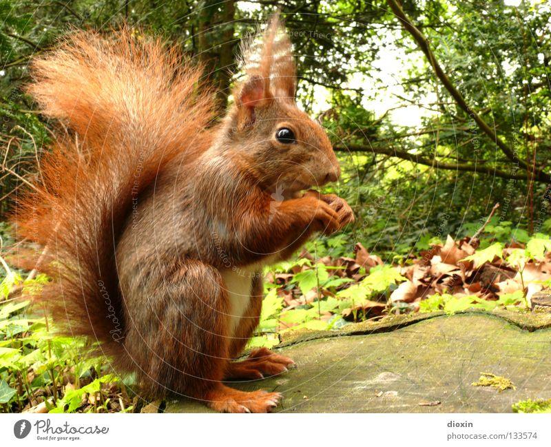 Her mit den Nüssen ! Baum Blatt Auge Wald Ernährung Haare & Frisuren Frühling braun Behaarung süß Ohr niedlich Ast Fell Horn Pfote