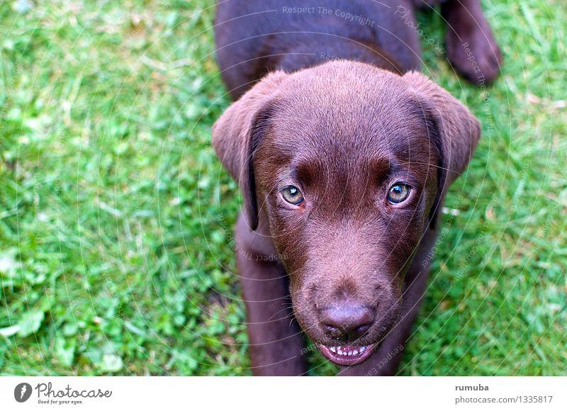 Dayna Freizeit & Hobby Jagd Kopf Tier Haustier Hund 1 Blick glänzend schön feminin braun grün Freude Zufriedenheit loyal Tierliebe achtsam Freundschaft Welpe