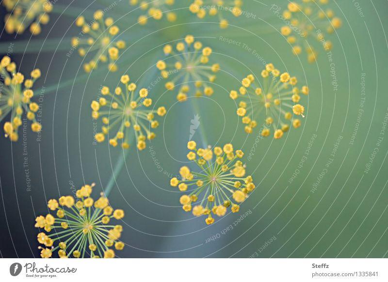 Dillblüten Lebensmittel Kräuter & Gewürze Natur Sommer Pflanze Nutzpflanze Heilpflanzen Gartenpflanzen Blühend Wachstum natürlich rund schön gelb grün Würzig