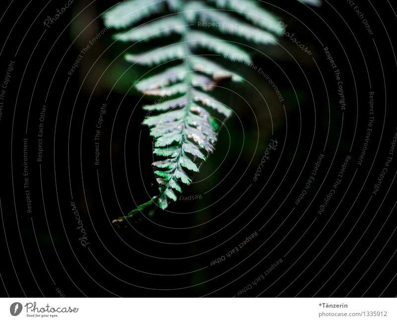 bis in die Spitze Natur Pflanze Herbst Sträucher Farn Grünpflanze Wald grün Traurigkeit Farbfoto Gedeckte Farben Außenaufnahme Menschenleer Dämmerung
